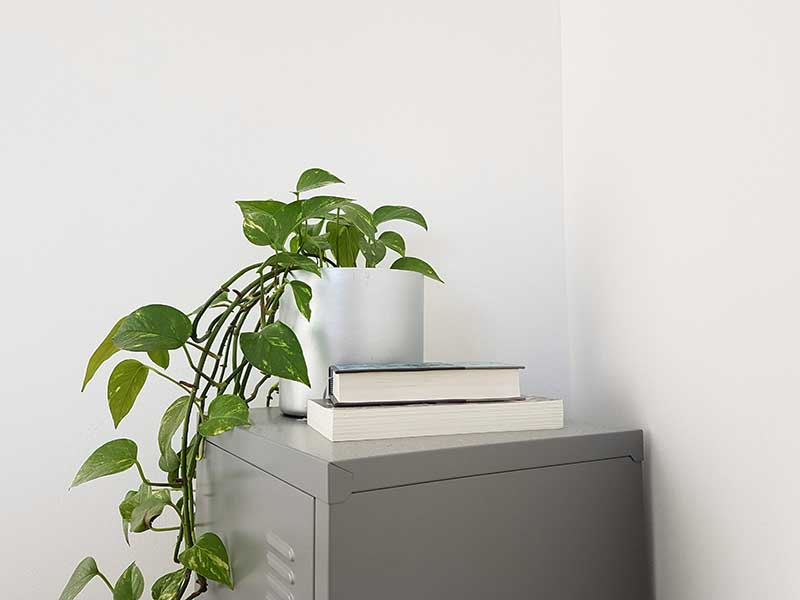 indoor office plant pothos