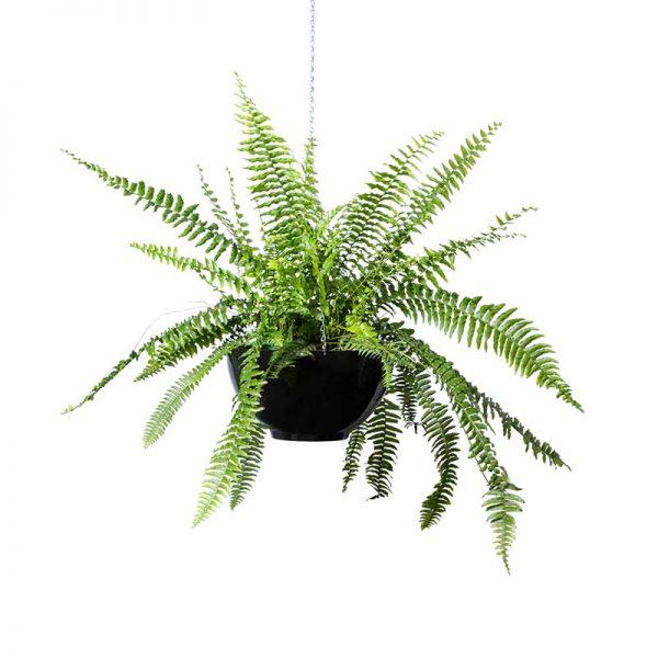 boston fern hanging bowl black
