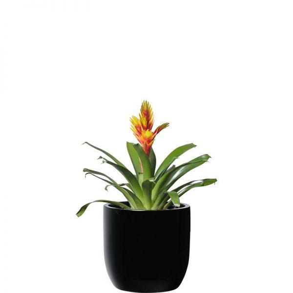 bromeliad black desktop