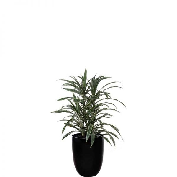 dracaena deremensis black cone medium