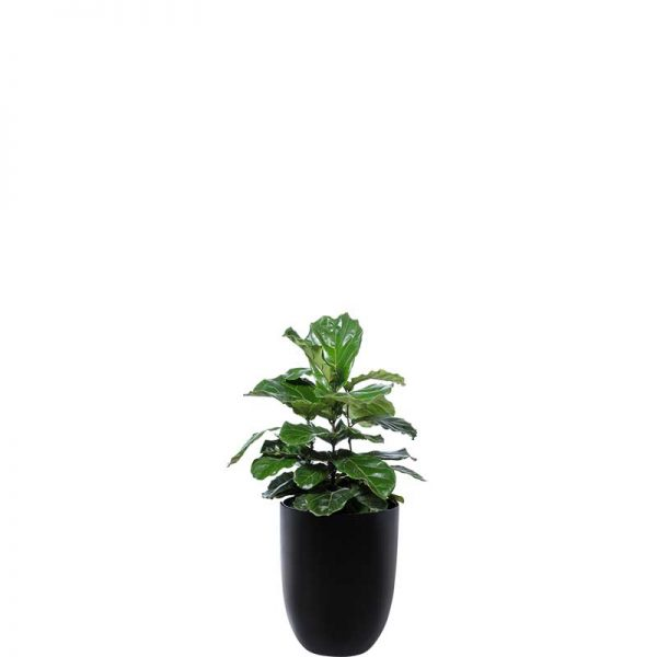 ficus lyrata fiddle leaf fig 2 black cone medium