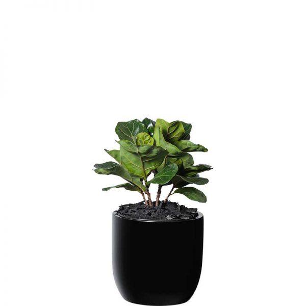 ficus lyrata fiddle leaf fig black desktop