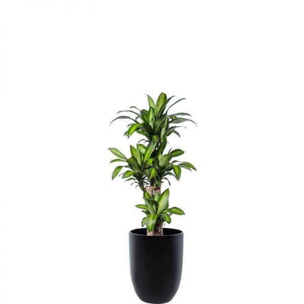 happy plant black cone medium