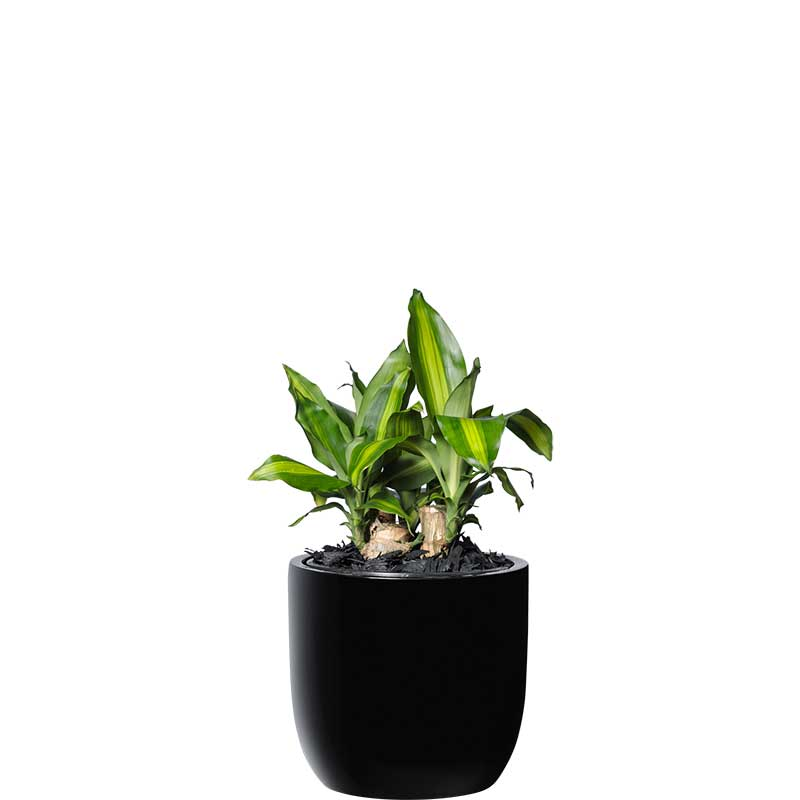 happy plant black desktop