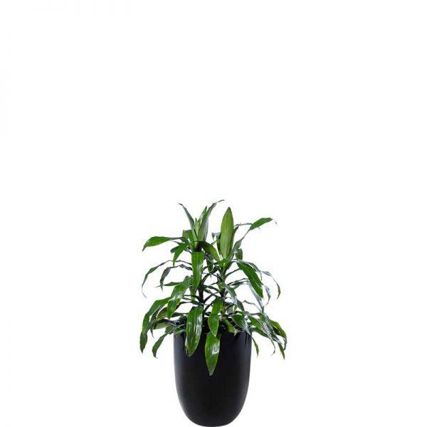 janet craig black cone medium