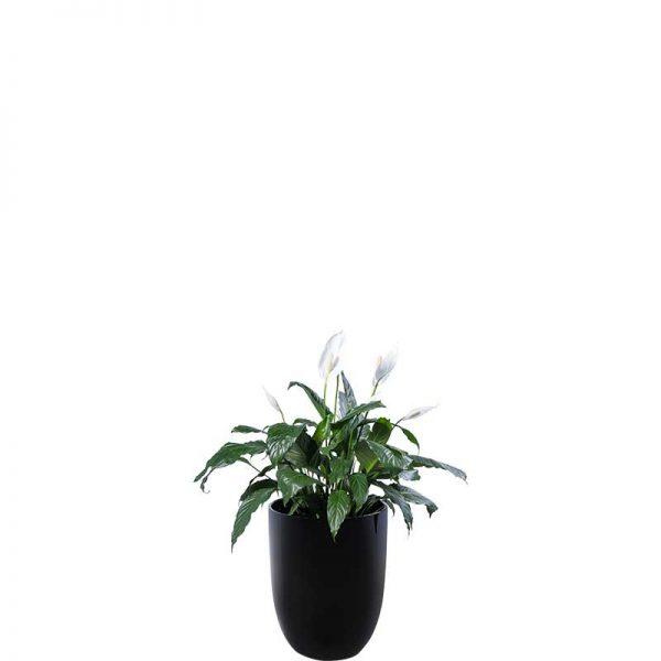 madonna lily spathiphyllum black cone medium