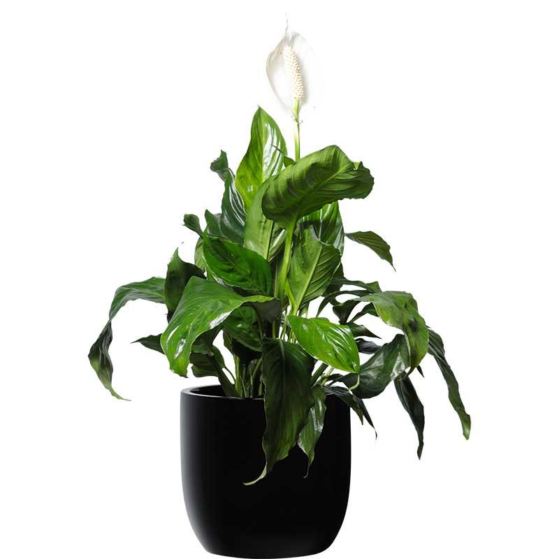 madonna lily spathiphyllum black desktop