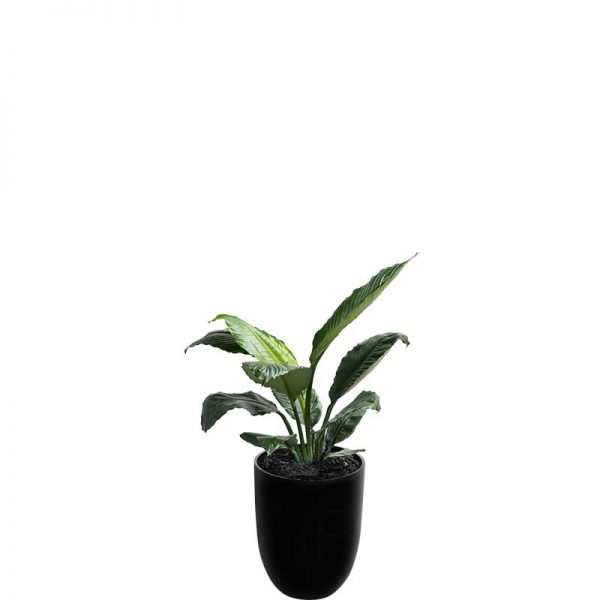 madonna lily spathiphyllum sensation large leaf black cone medium
