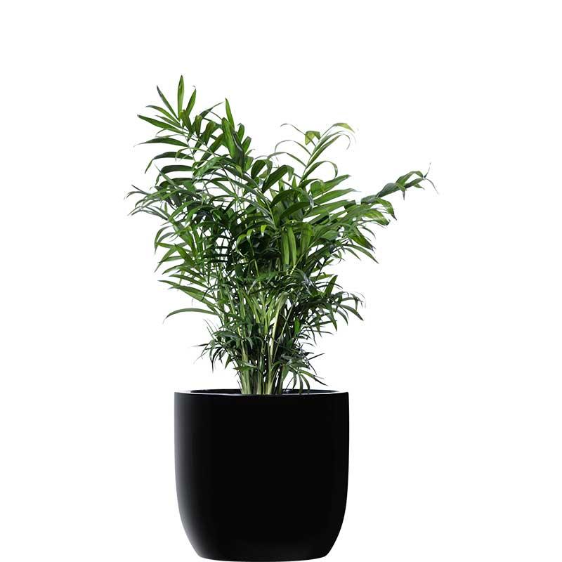 parlour palm black desktop