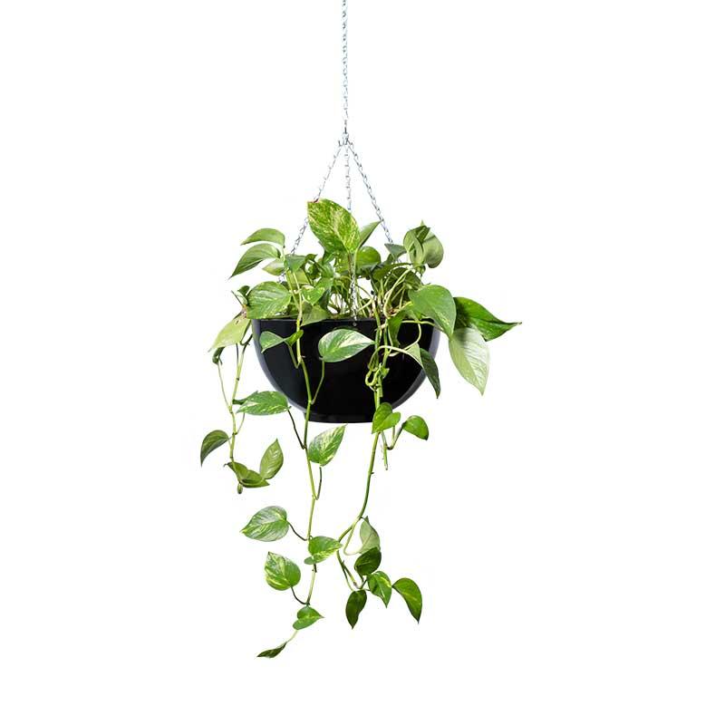 pothos devils ivy hanging black bowl