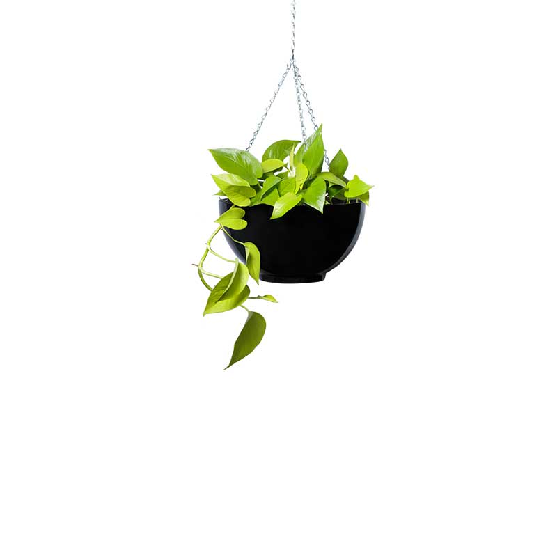 pothos goldilocks hanging bowl black