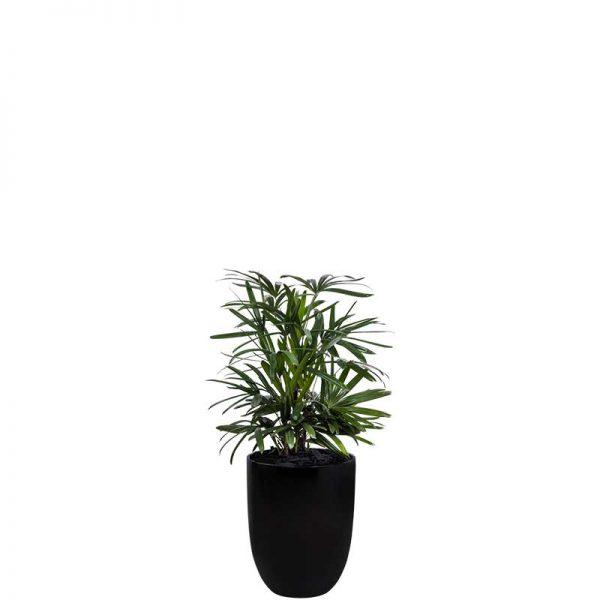 rhapis 4 black cone medium