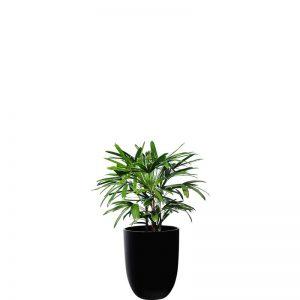 rhapis palm 1 black cone