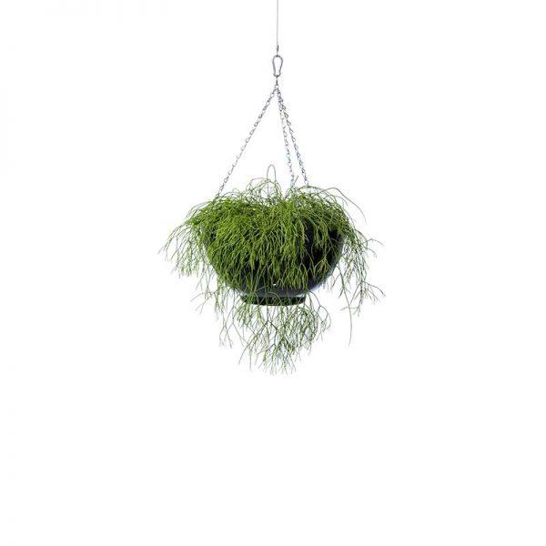 rhipsalis sp black hanging bowl