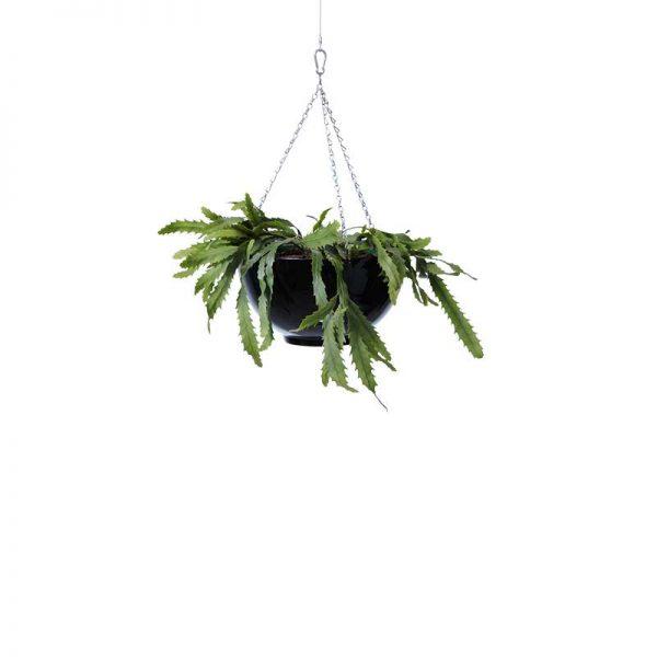 rhipsalis 2 hanging bowl black