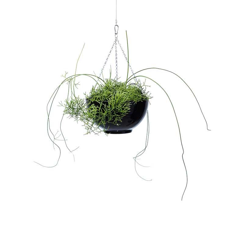 rhipsalis with stems hanging bowl black