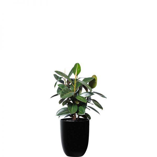 rubber plant green ficus elastica black cone medium
