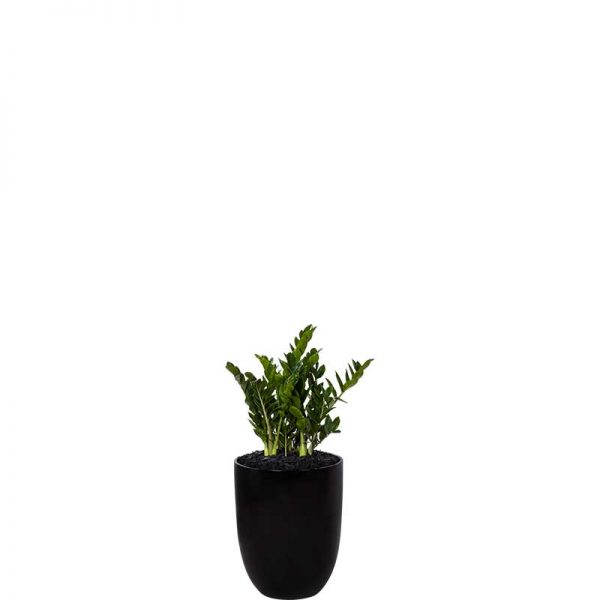 zanzibar gem zz plant black cone medium