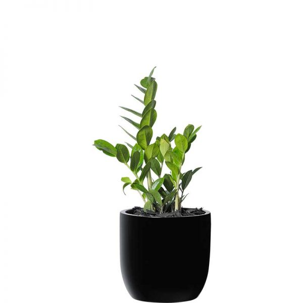 zanzibar gem zz plant black desktop