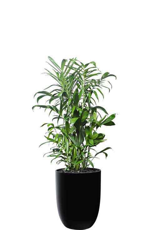 bamboo palm sefritzi black cone medium