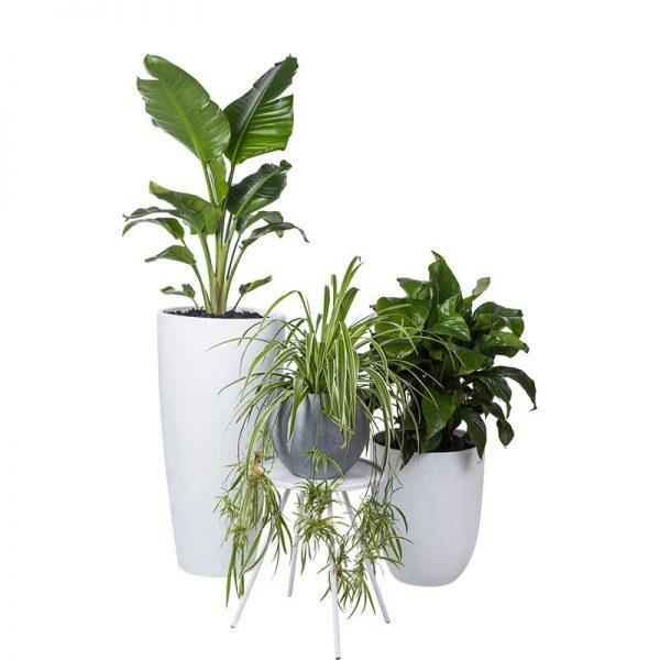 cluster pots and plants strelitzia spider spath sensation cone cluster white 4874