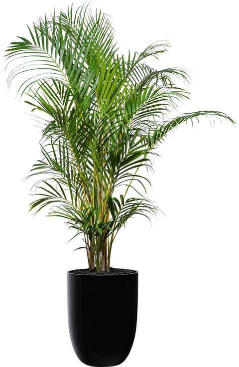 golden cane palm black cone medium
