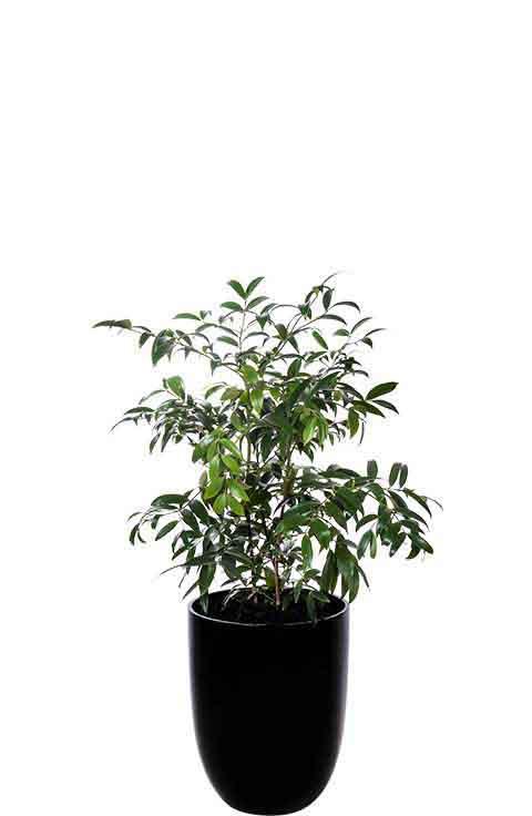 kauri pine black cone medium