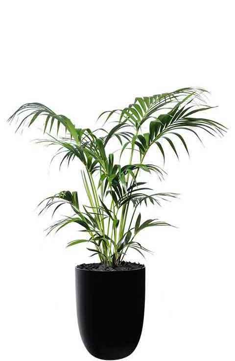 kentia palm black cone medium