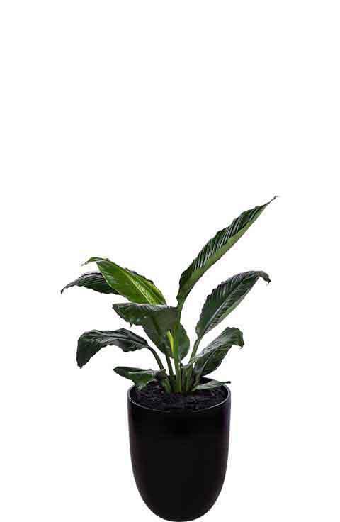 madonna lily spathiphyllum broad leaf black cone medium