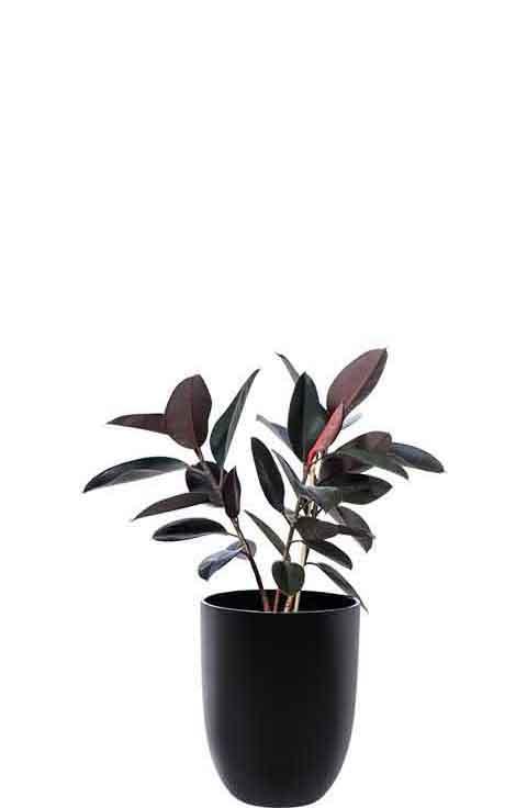 rubber plant burgundy ficus elastica black cone medium