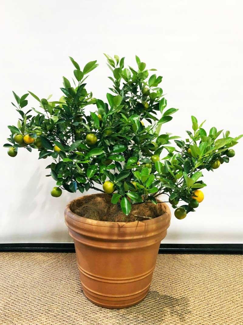 citrus cumquat tree in terracotta pot