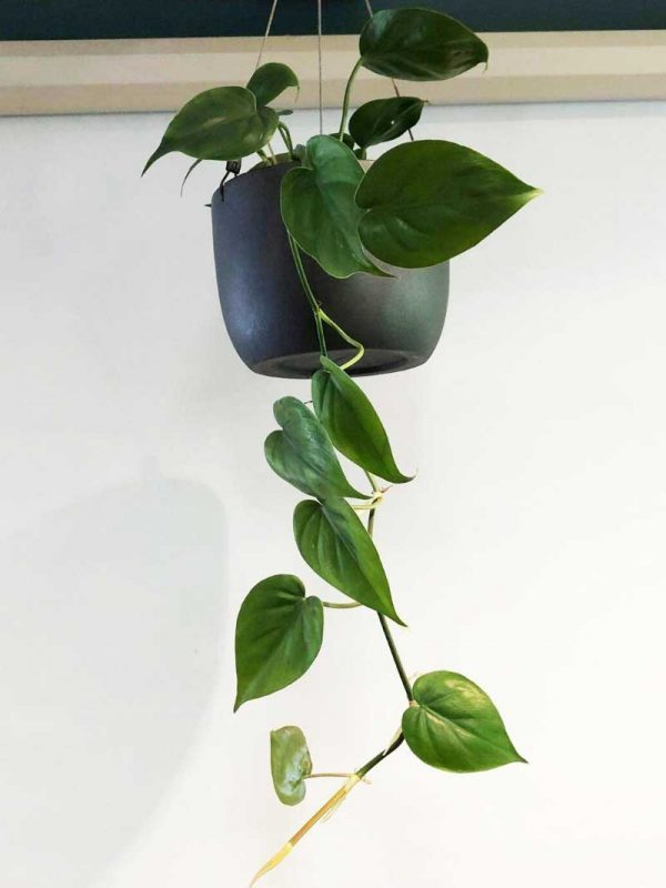 green pothos black hanging wire pot