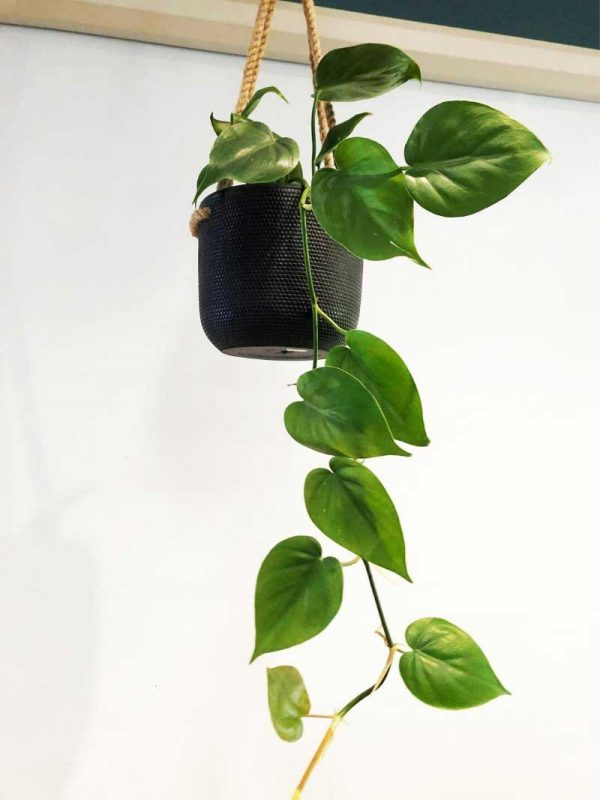 green pothos in black hanging rope pot