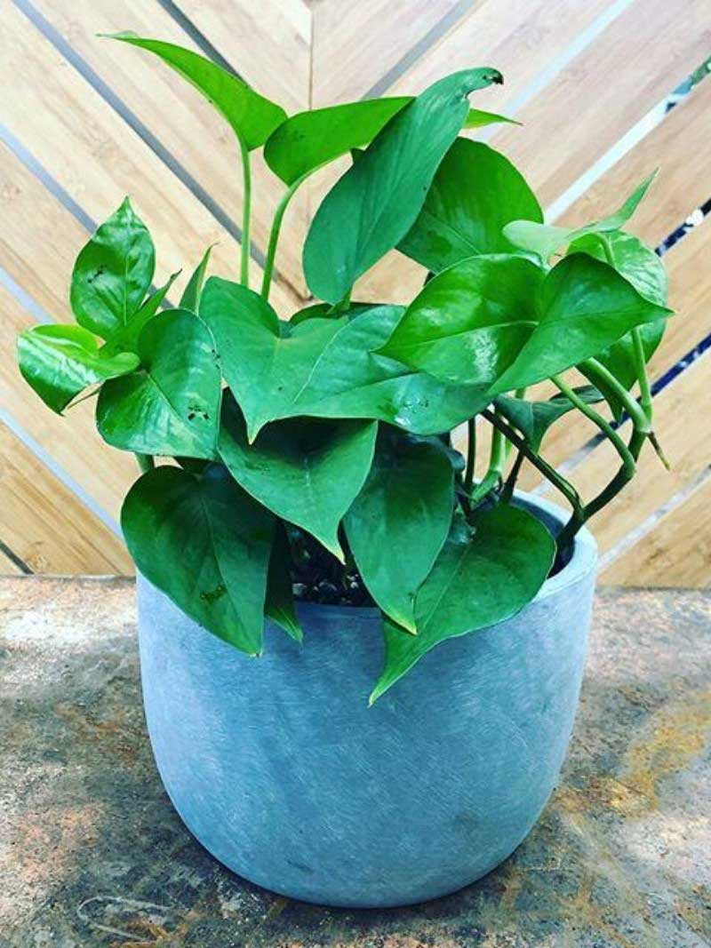 green pothos in small concrete mini garden bowl