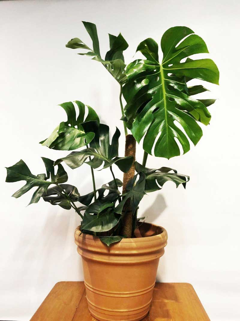 monstera large in terracotta cotta pot