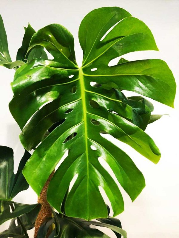 monstera large leaf