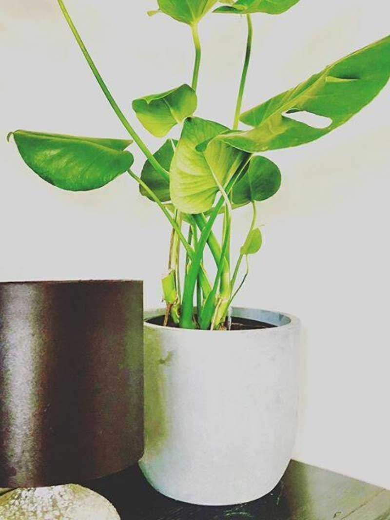 monstera large white mini garden bowl