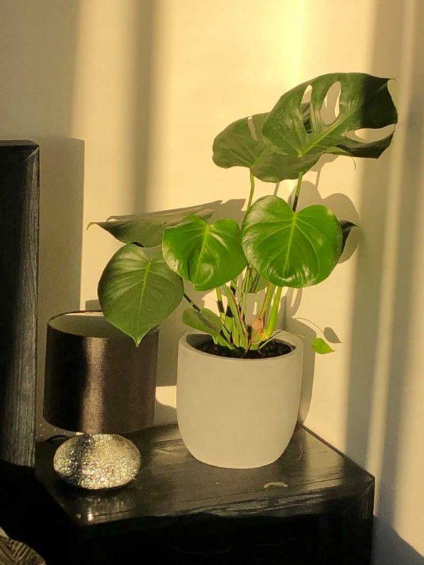 monstera large white mini garden bowl