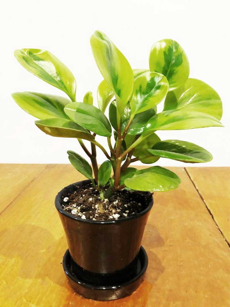 peperomia black ceramic pot with saucer