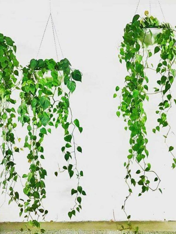 philodendron in hanging chain bowl