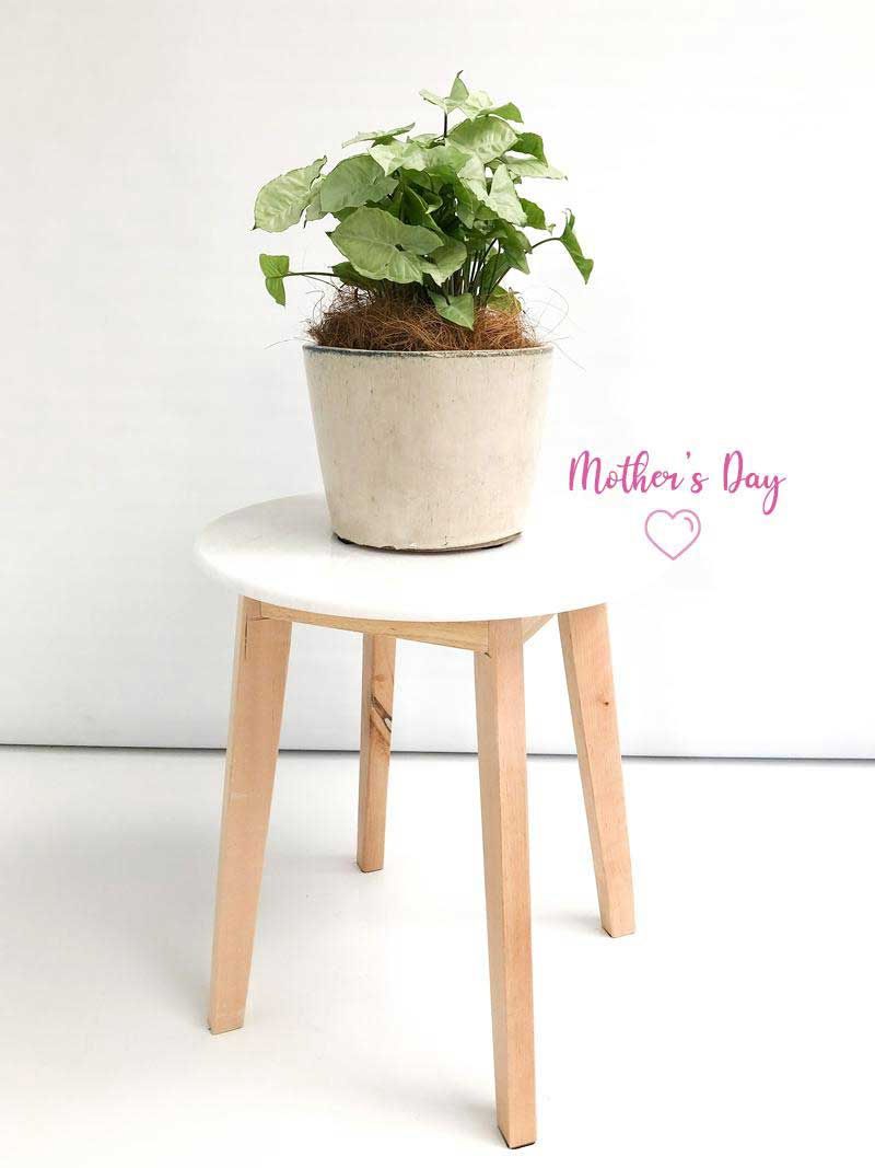 plants at home mothers day special cream pot
