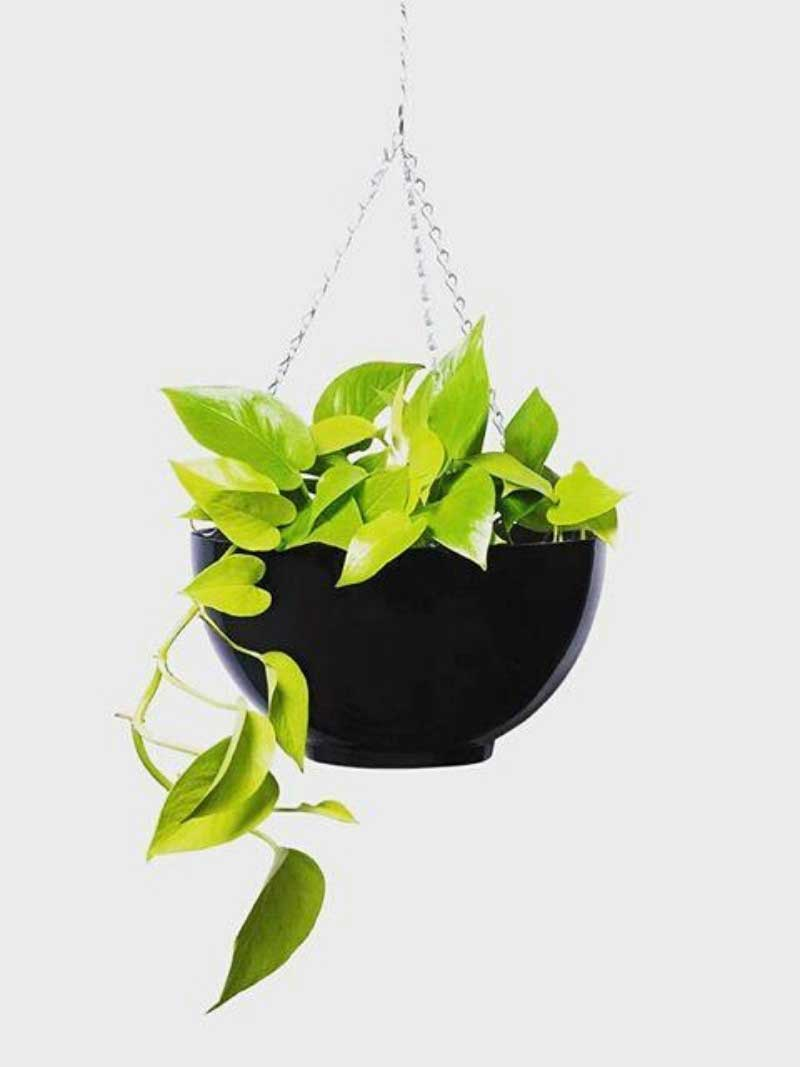 pothos goldilocks in hanging chain bowl
