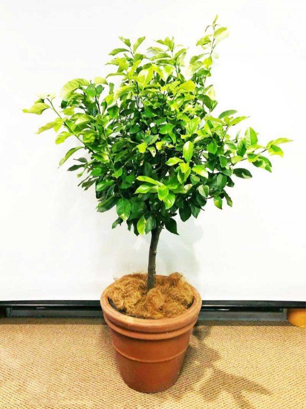 topiary lemon tree in terracotta pot