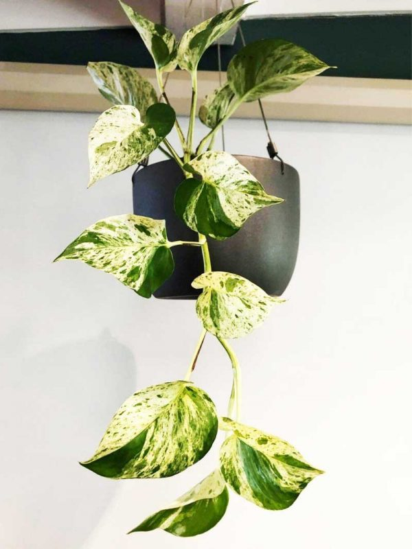 variegated pothos devils ivy in black hanging wire pot