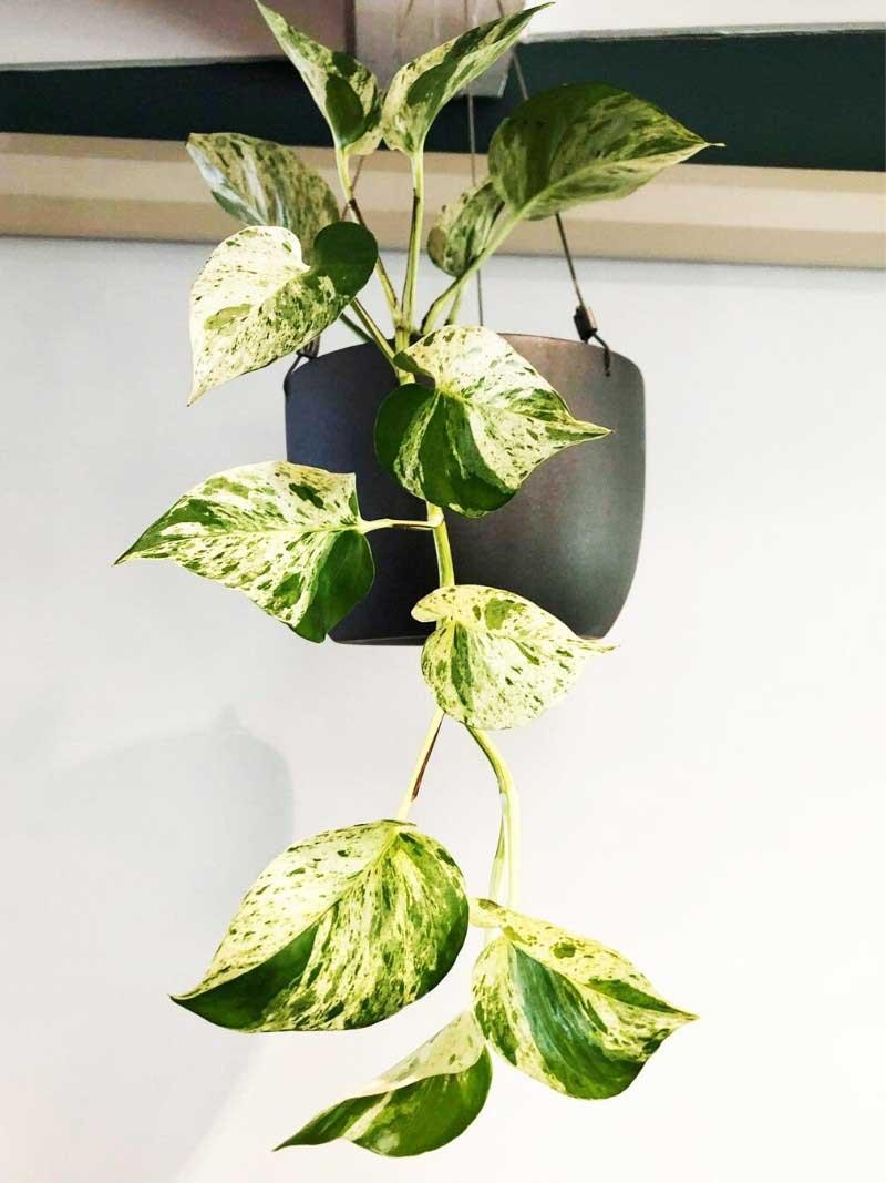 variegated pothos devils ivy in black hanging wire pot