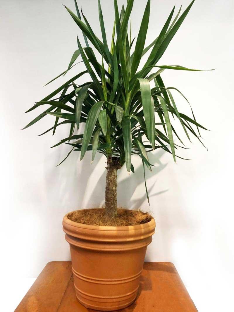 yucca in terracotta pot