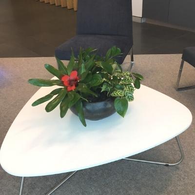 bromeliad pothos aglaonema coffee table plant