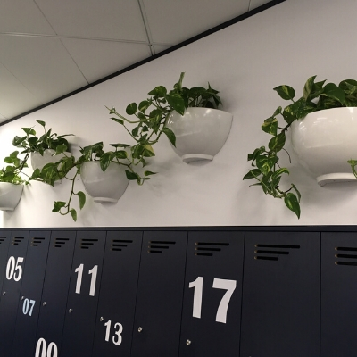 devils ivy trailing white wall pots 1