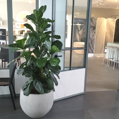 fiddle leaf fig grey planter
