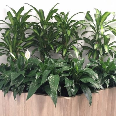 happy plants peace lily spaths joinery plants